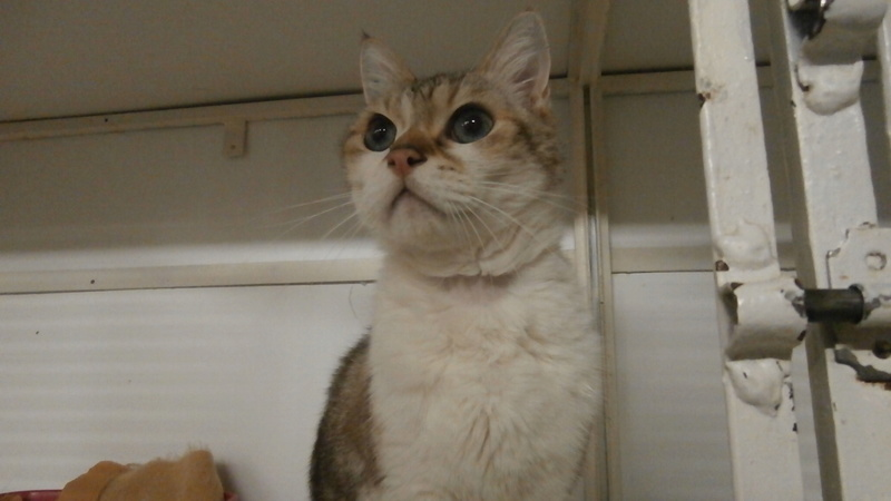 QUARTZ/Pompon (chat croisé sacré de Birmanie?!) P2167123
