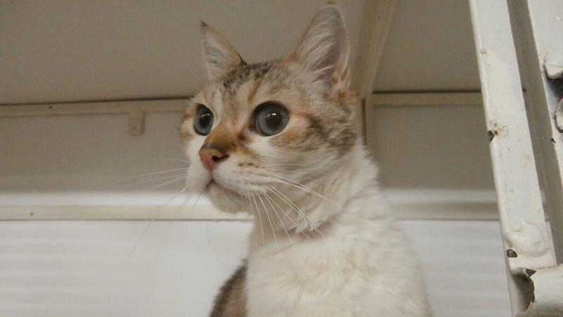 QUARTZ/Pompon (chat croisé sacré de Birmanie?!) P2167124