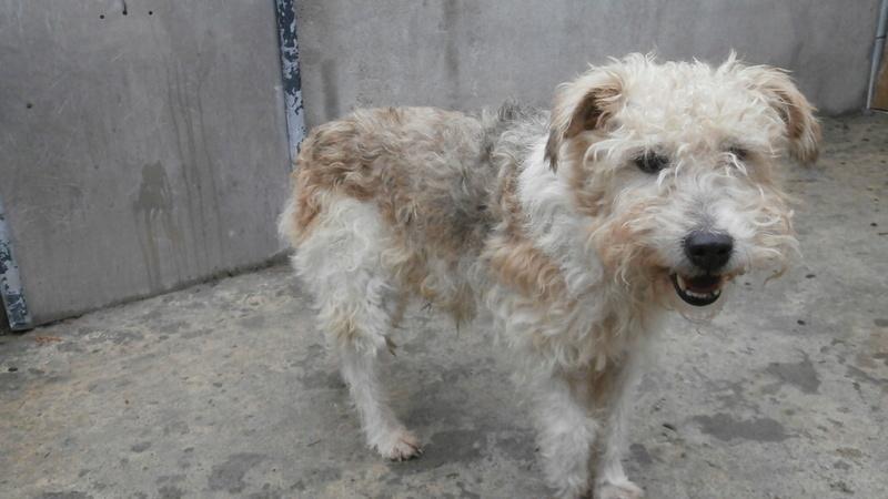 BEN (mâle fox terrier) P2167125