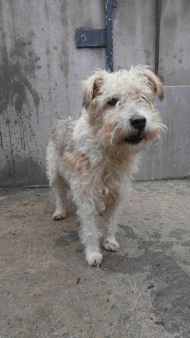 BEN (mâle fox terrier) P2167127