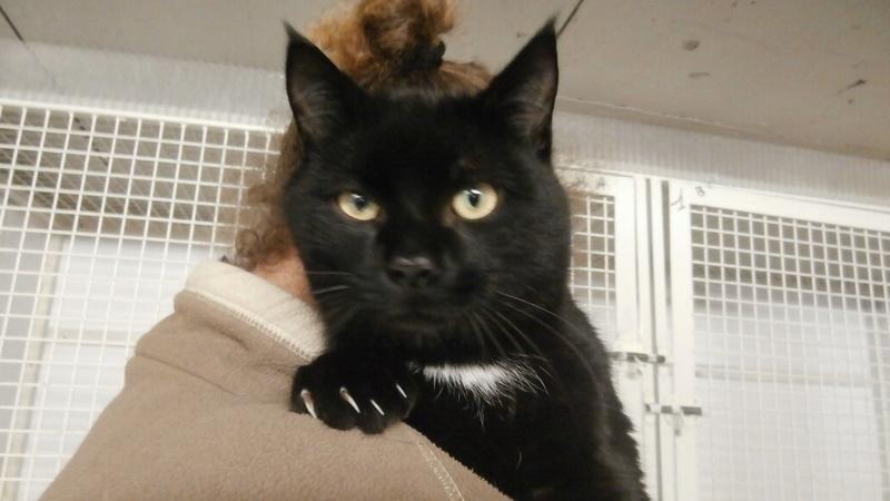PALMITO (chat noir) P3247227