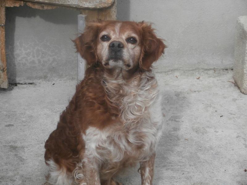 BOBY (mâle épagneul breton) Pa186710