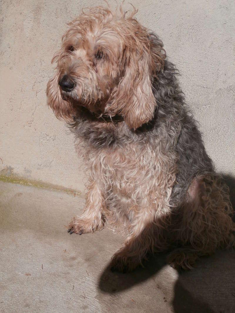 DOLLY (femelle croisée griffon) Pb016815