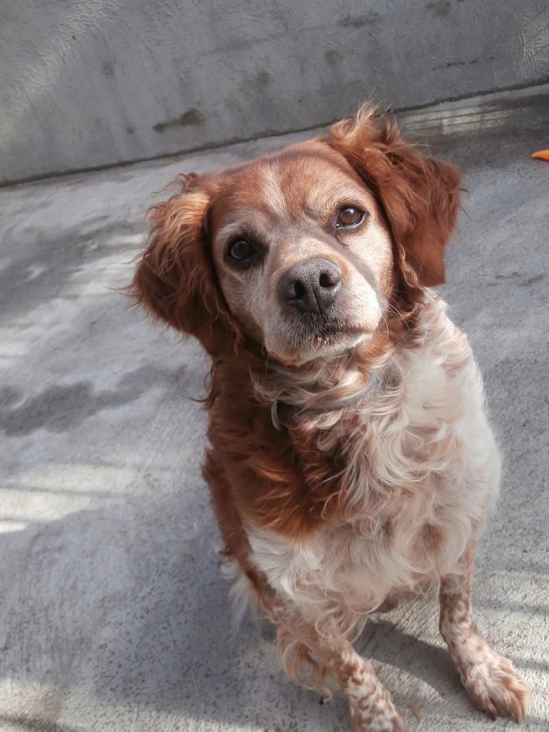 BOBY (mâle épagneul breton) Pb016818