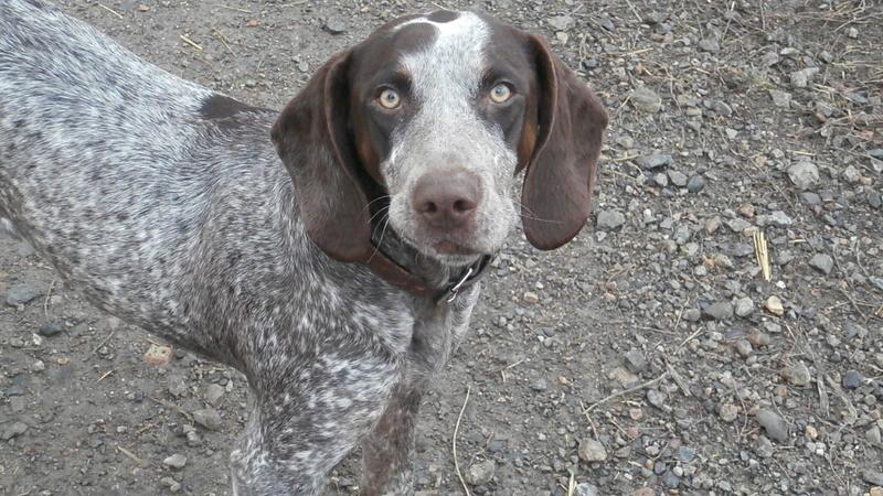 LOOMIS (chienne braque croisée) Pb296816