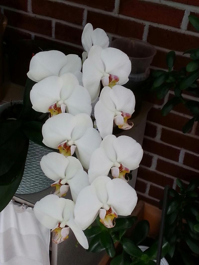 Les orchidées - Page 32 20180471