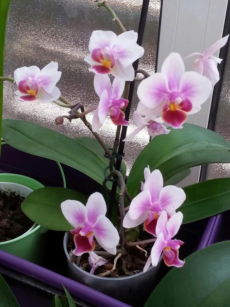 Les orchidées - Page 32 20180475