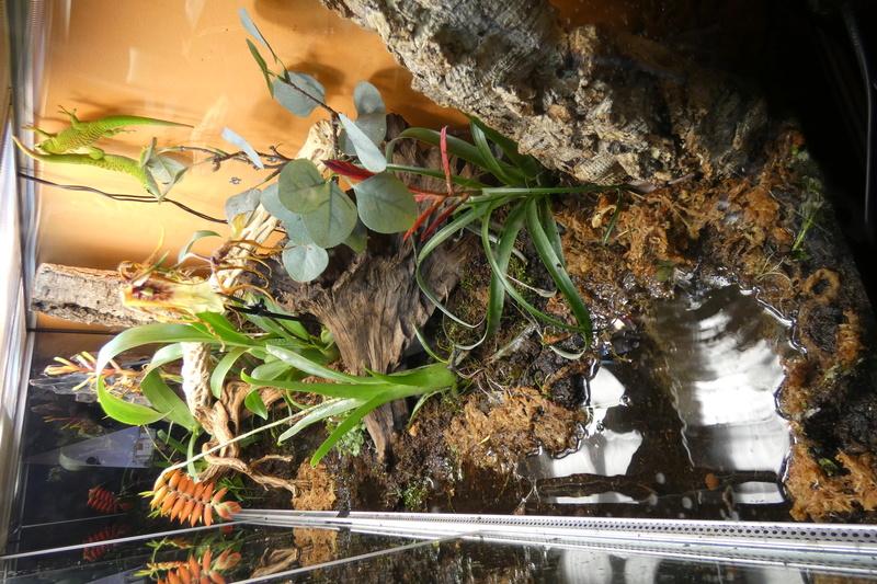 Projet de mise en place d'un vivarium humide planté, pour nos phelsu m. grandis. P1000010