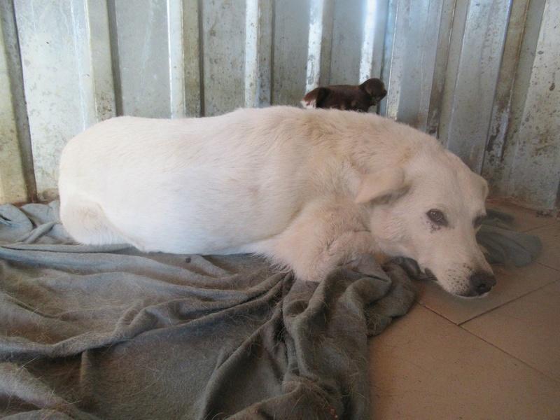 ICEBERG - mâle croisé de taille moyenne, né en 2011 (PASCANI) - REMEMBER ME LAND 22563511