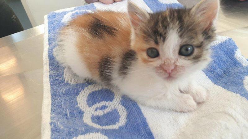 CALICE (ex KAÏNA) - chat femelle, née en fin juillet 2017 - En FA chez Abysse (depart92) - ADOPTEE PAR LAURE (95) 22752810