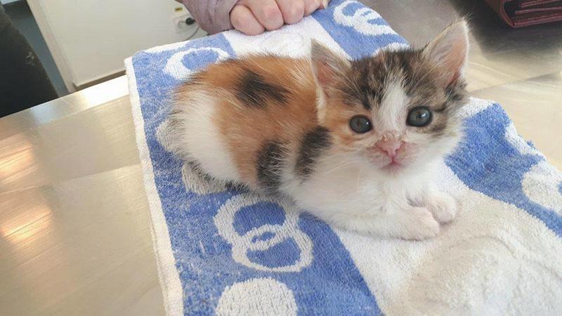 CALICE (ex KAÏNA) - chat femelle, née en fin juillet 2017 - En FA chez Abysse (depart92) - ADOPTEE PAR LAURE (95) 22809810