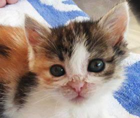 CALICE (ex KAÏNA) - chat femelle, née en fin juillet 2017 - En FA chez Abysse (depart92) - ADOPTEE PAR LAURE (95) 22809811
