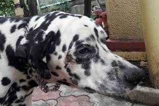 ARCHIE - magnifique mâle Dalmatien LOF de taille moyenne, né en juin 2007. Adopté par  Gisèle (depart57) - DECEDE 23030711
