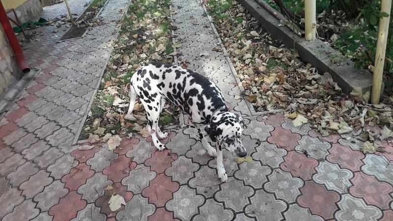 ARCHIE - magnifique mâle Dalmatien LOF de taille moyenne, né en juin 2007. Adopté par  Gisèle (depart57) - DECEDE 23107310