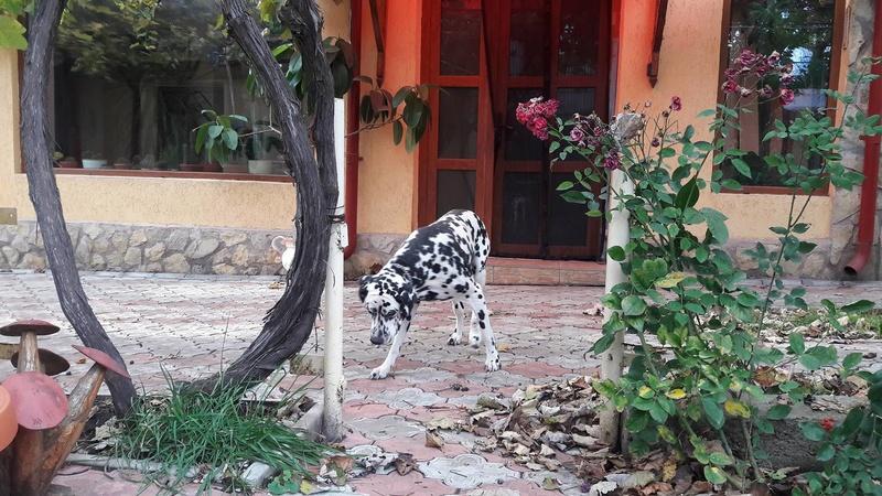 ARCHIE - magnifique mâle Dalmatien LOF de taille moyenne, né en juin 2007. Adopté par  Gisèle (depart57) - DECEDE 23113210