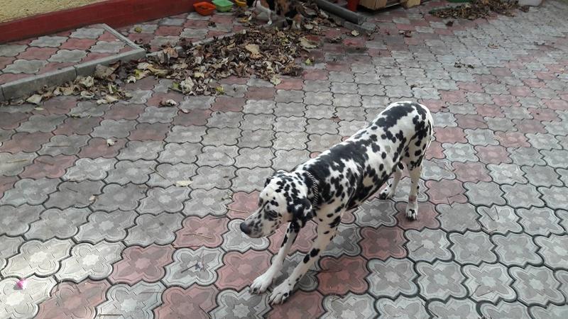 ARCHIE - magnifique mâle Dalmatien LOF de taille moyenne, né en juin 2007. Adopté par  Gisèle (depart57) - DECEDE 23157510