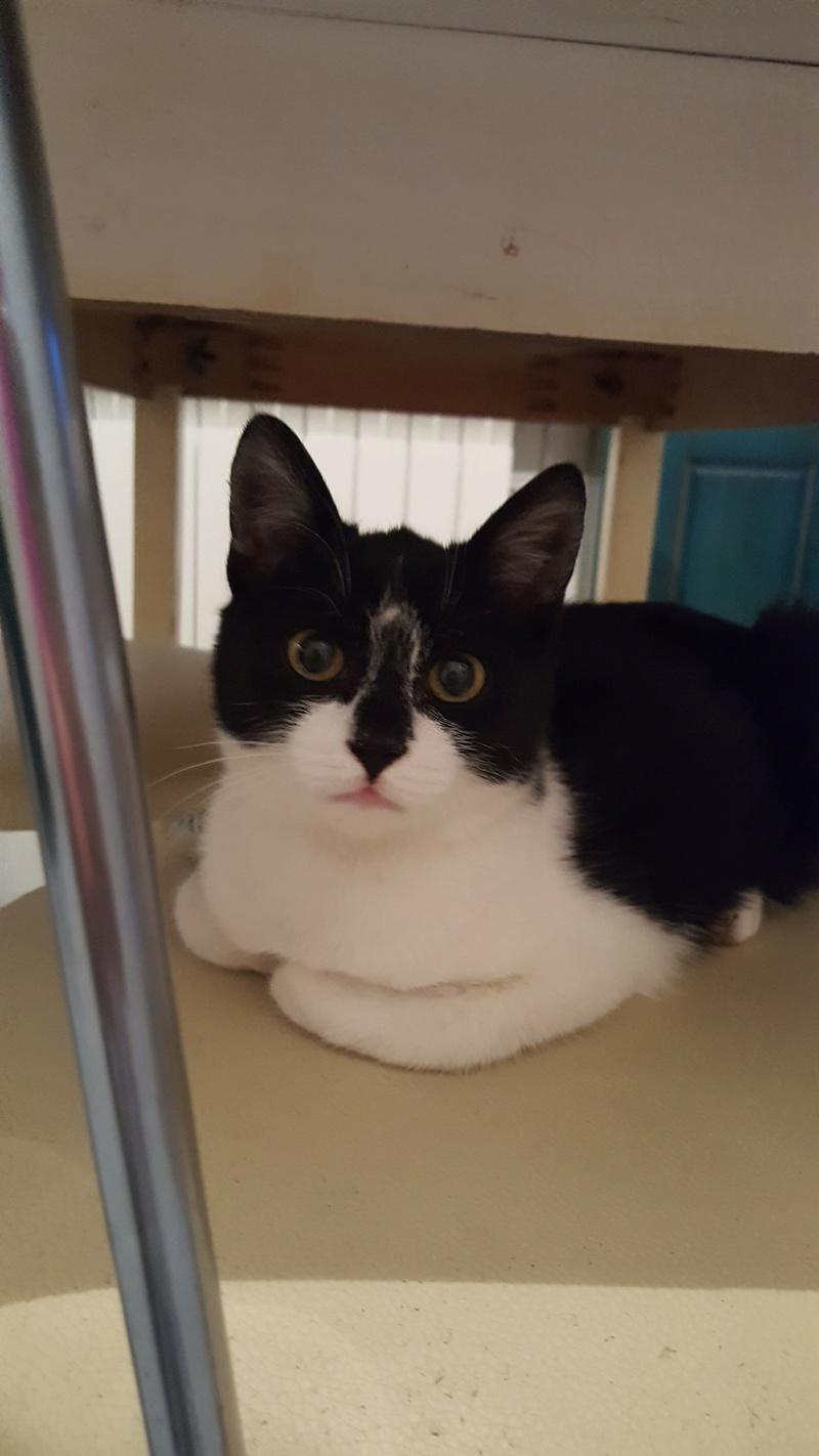 BILUTZ - chat mâle, grande taille adulte, né aout 2017 - adopté par Adelina (Pascani)  25637010