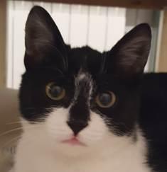 BILUTZ - chat mâle, grande taille adulte, né aout 2017 - adopté par Adelina (Pascani)  25637011