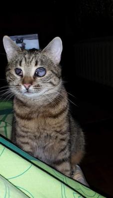 SHANA - chat femelle aveugle, née en fin 2016 - EN FA A PASCANI - Adoptée par Nanette 71 (71) 27152610