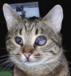 SHANA - chat femelle aveugle, née en fin 2016 - EN FA A PASCANI - Adoptée par Nanette 71 (71) 27152611