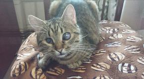 SHANA - chat femelle aveugle, née en fin 2016 - EN FA A PASCANI - Adoptée par Nanette 71 (71) 27153010