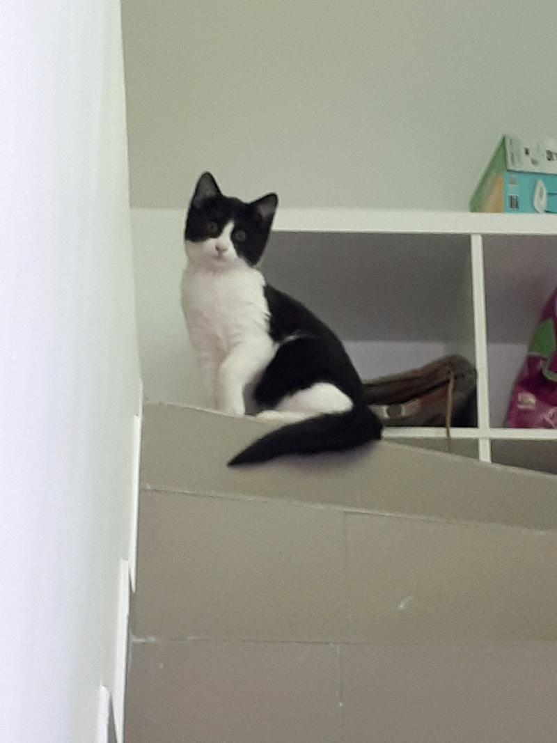 BANJO - magnifique chat mâle, né septembre 2017 - ADOPTE EN ROUMANIE 27650110