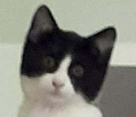 BANJO - magnifique chat mâle, né septembre 2017 - ADOPTE EN ROUMANIE 27650111
