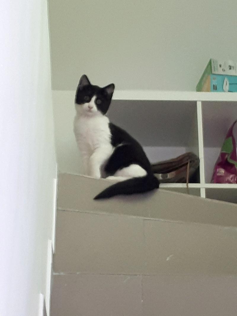 BANJO - magnifique chat mâle, né septembre 2017 - ADOPTE EN ROUMANIE 27652910