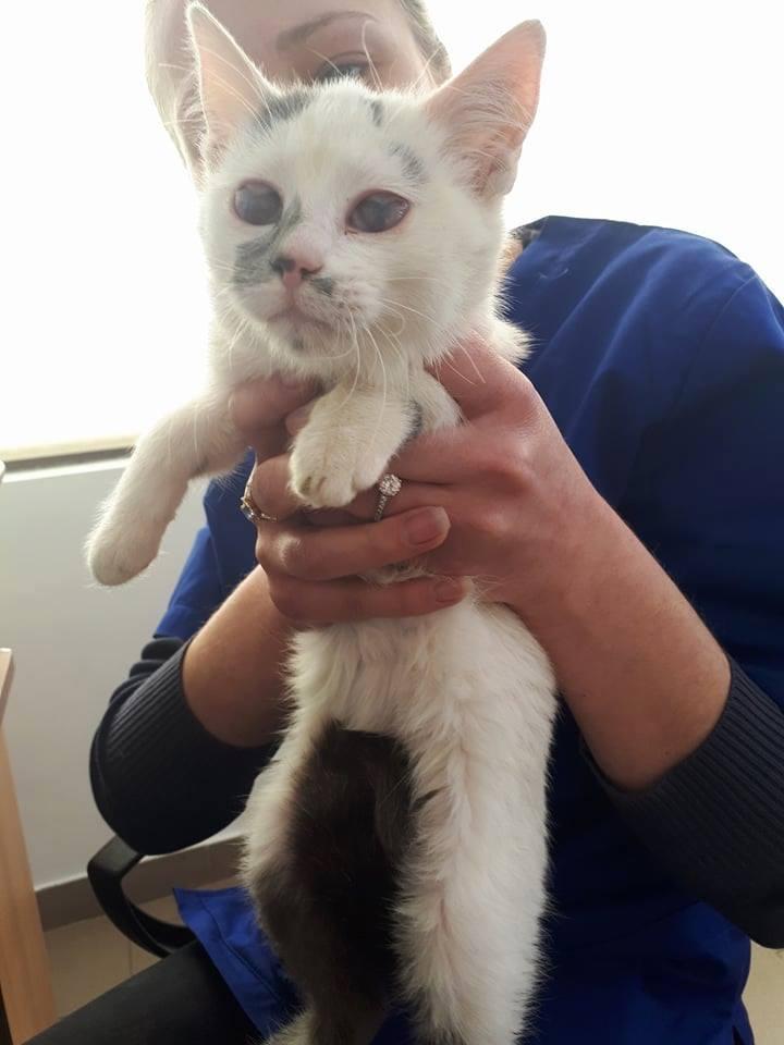PIXIE - chaton femelle, née environ mi novembre 2017 (Pascani) -  adoptée par Océane (54) 29496510