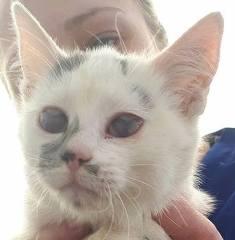 PIXIE - chaton femelle, née environ mi novembre 2017 (Pascani) -  adoptée par Océane (54) 29496511