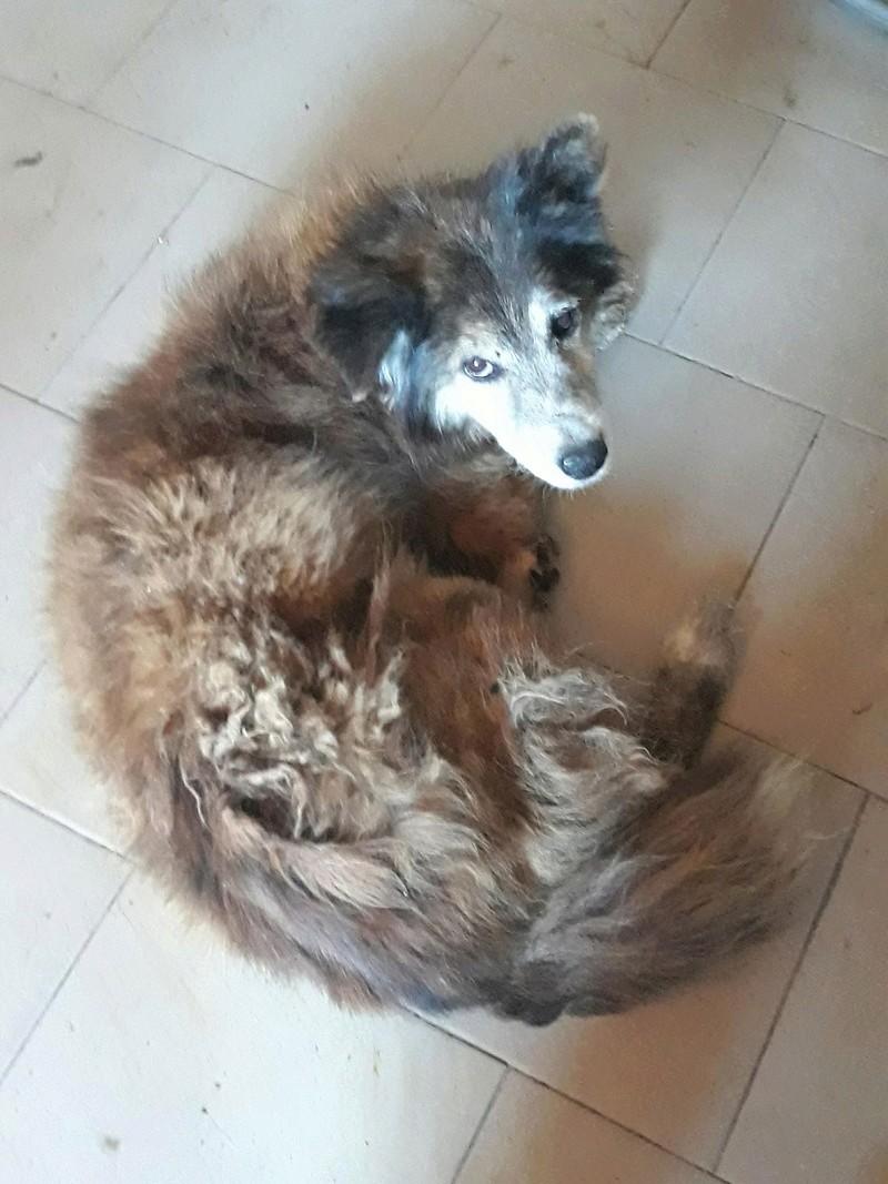OLLY (ex STARSHIP) - mâle croisé Tervueren, âgé, de taille moyenne, né environ en avril 2008  (PASCANI) - REMEMBER ME LAND - Adopté par Maud (71) 32267110