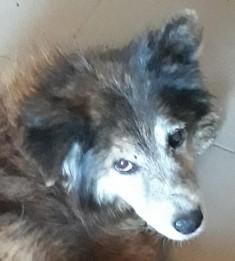 OLLY (ex STARSHIP) - mâle croisé Tervueren, âgé, de taille moyenne, né environ en avril 2008  (PASCANI) - REMEMBER ME LAND - Adopté par Maud (71) 32267111