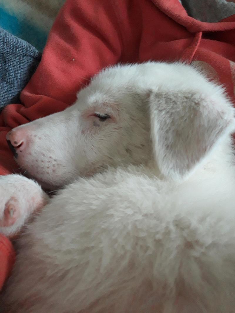 LAZARRE - joli mâle croisée de grande taille adulte, né en janvier 2018. Handicapé (PASCANI) - Adopté par Sabine (Belgique)  - décédé 33591810