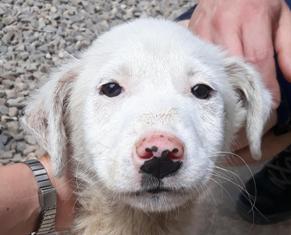 LAZARRE - joli mâle croisée de grande taille adulte, né en janvier 2018. Handicapé (PASCANI) - Adopté par Sabine (Belgique)  - décédé 33688011