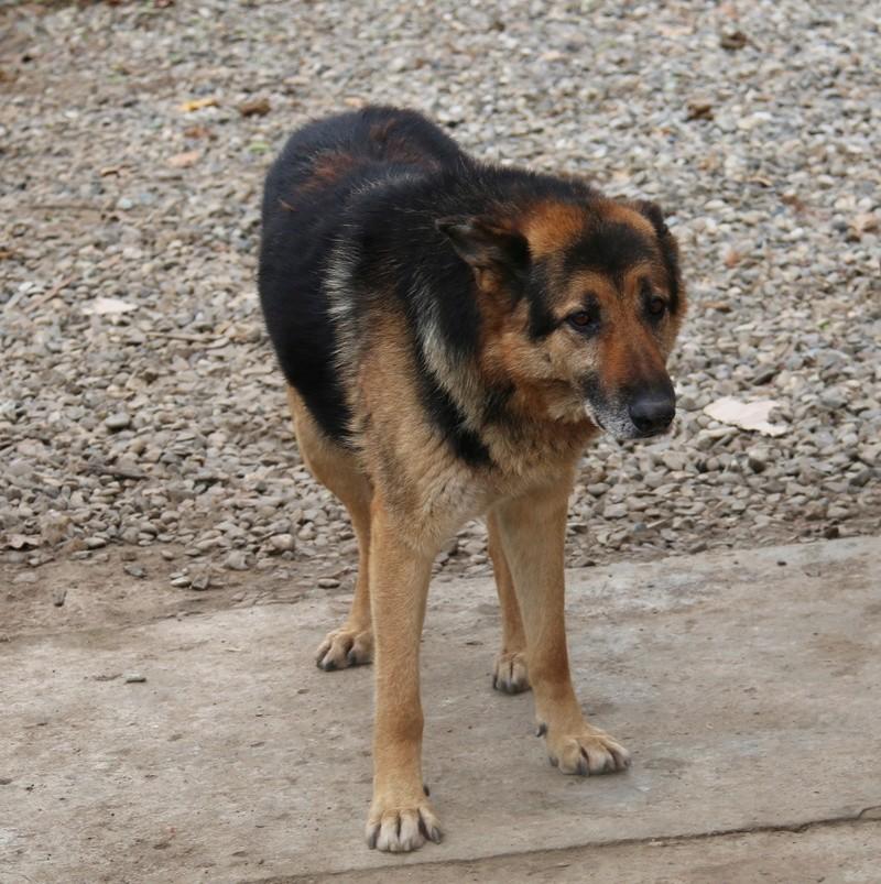 ENEE - mâle croisé Berger Allemand de taille grande, né environ août 2008 (PASCANI) - En FALD chez LiliDG (14) - Page 3 Img_8511