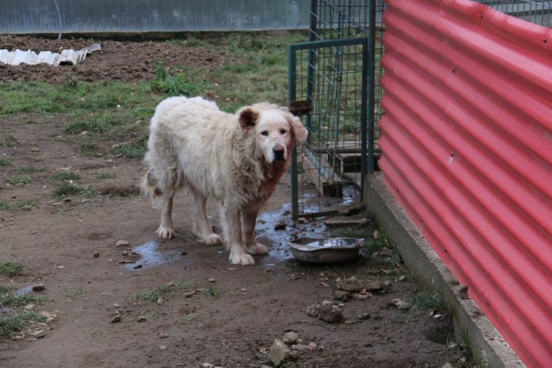 GOLIATH !! + de 3 ans de box !! mâle grande taille, né environ en octobre 2009, croisé montagne des Pyrénées (Cristesti) - REMEMBER ME LAND - En FALD chez Caroline (05) - DECEDE  - Page 4 Img_9213