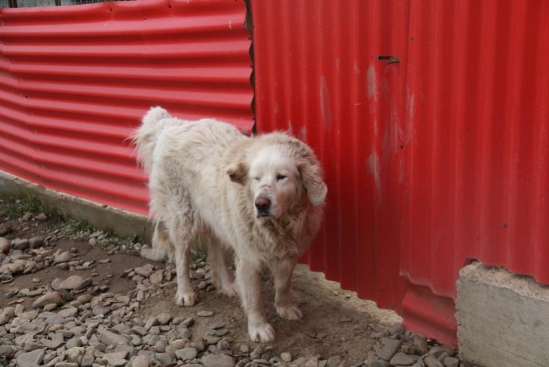 GOLIATH !! + de 3 ans de box !! mâle grande taille, né environ en octobre 2009, croisé montagne des Pyrénées (Cristesti) - REMEMBER ME LAND - En FALD chez Caroline (05) - DECEDE  - Page 4 Img_9410