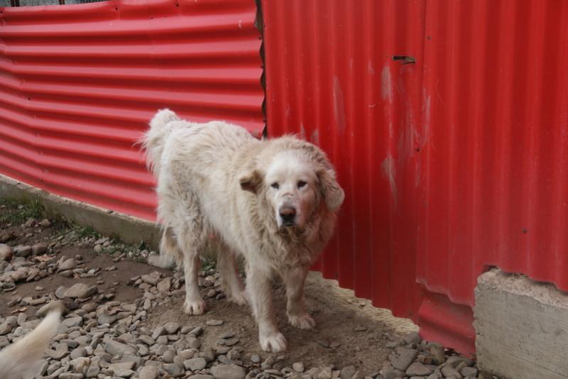 GOLIATH !! + de 3 ans de box !! mâle grande taille, né environ en octobre 2009, croisé montagne des Pyrénées (Cristesti) - REMEMBER ME LAND - En FALD chez Caroline (05) - DECEDE  - Page 4 Img_9411