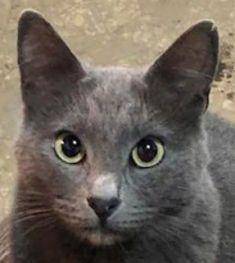 LEA (ex LOLLO BRIGITA) - chat femelle, née en 2015 - CAMELIA BUCAREST - Adoptée par Veronica (Belgique) Lolo_b10