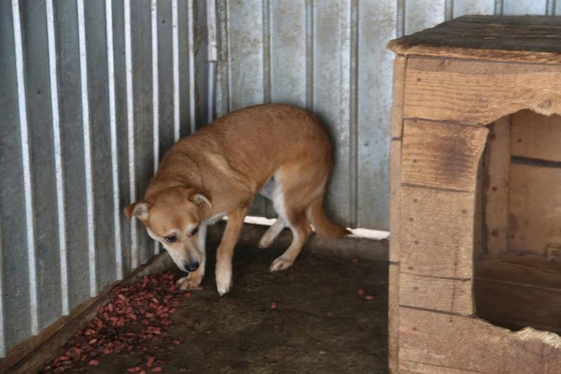 MAIKA - chienne croisée de taille moyenne, née 2015 - (Pascani) REMEMBER ME LAND Maikaa11