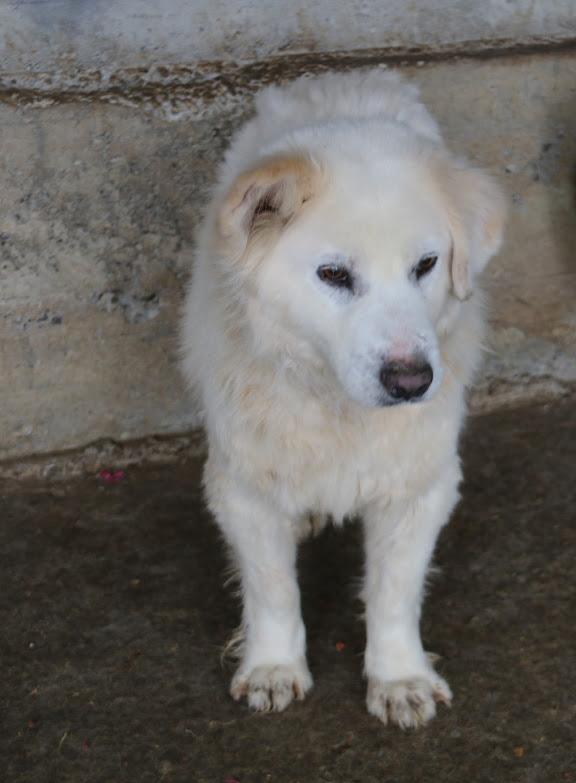 SENOR - mâle croisé Chow Chow de grande taille, né environ avril 2009 (PASCANI) - REMEMBER ME LAND - Adopté par Laurence et Jean-Marc (35) Senor10