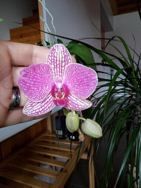 Phalaenopsis Ambotris??? 38721410