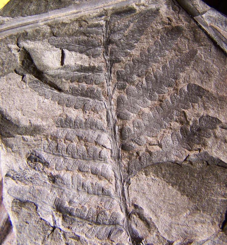 Oligocarpia Goeppert , 1841. 100_8010