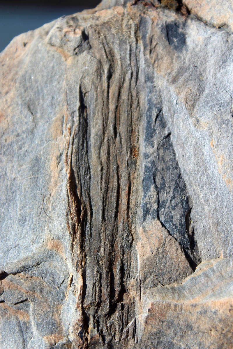 Flore Carbonifère des Alpes Françaises part 2 Img_4011