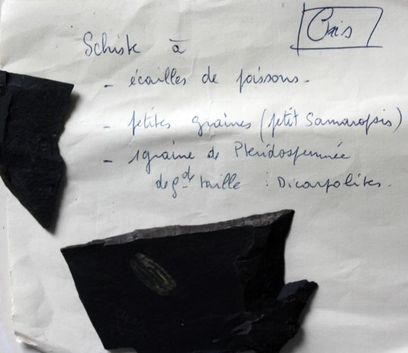 Flore Carbonifère des Alpes Françaises part 2 Img_4614