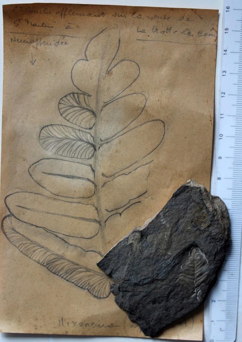 Flore Carbonifère des Alpes Françaises part 2 Img_4616