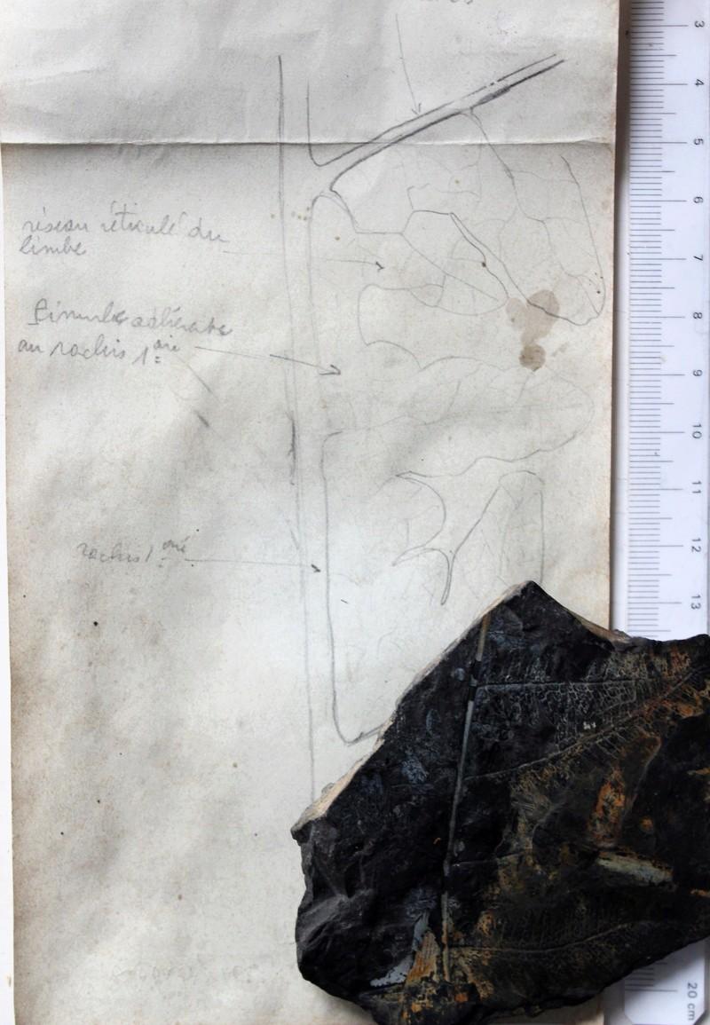 Flore Carbonifère des Alpes Françaises part 2 Img_4617