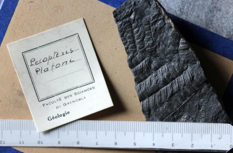 Flore Carbonifère des Alpes Françaises part 2 Img_4710