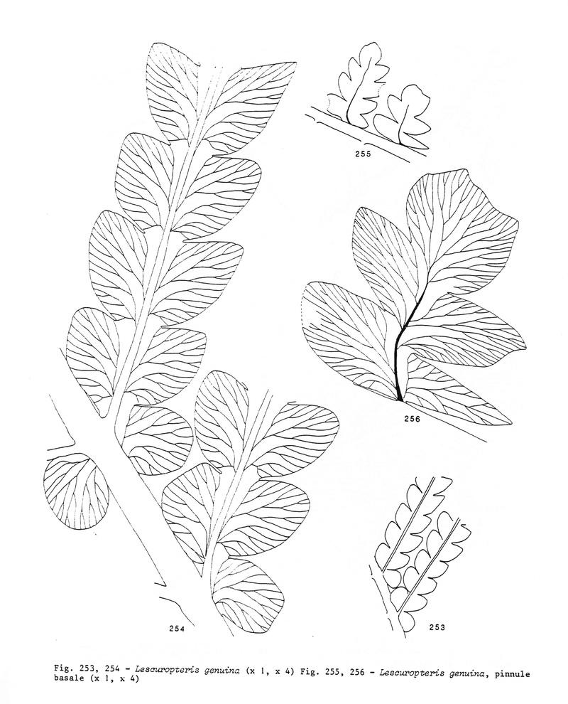 Lescuropteris Genuina Langia11