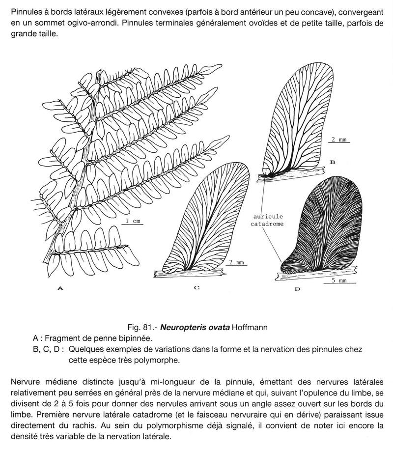 Flore Carbonifère des Alpes Françaises part 2 - Page 4 Lavein10